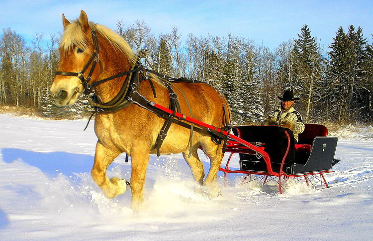 An image pf a horse drawn sleigh at Heritage Ranch in Red Deer - things to do in Red Deer in winter.