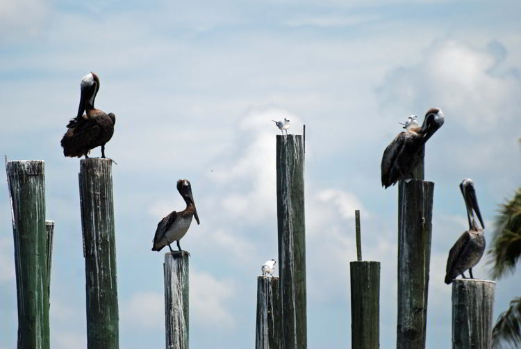 An image of birds near the dock in Chokoloskee Island, Florida.