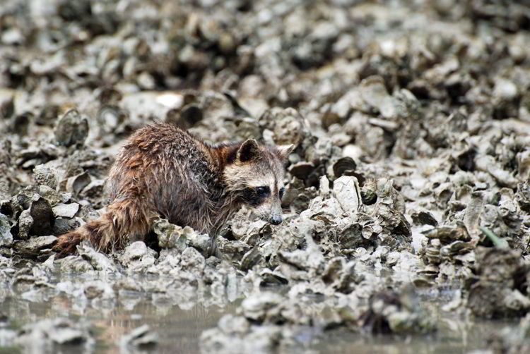 An image of a raccoon in the Ten Thousand Islands Wildlife Refuge eating oysters - seen on an Everglades kayak tour.