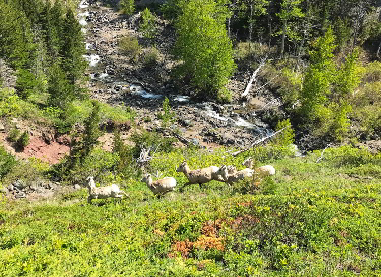 An image of bighorn sheep in Castle Provincial Park in Alberta, Canada.
