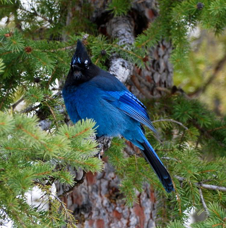 An image of a Steller's Jay in Waterton Lakes National Park in Alberta, Canada.