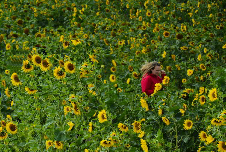 An image of a young woman walking through a field of sunflowers at the Bowden Sunmaze in Bowden, Alberta.