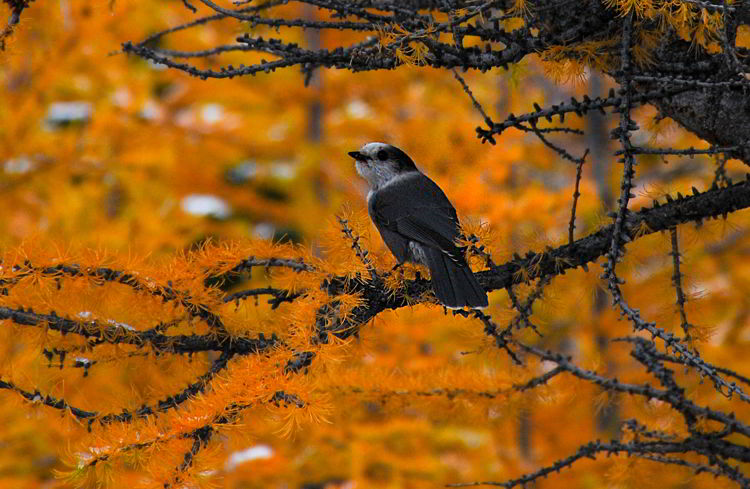An image of a whiskeyjack or gray jay in a golden larch tree.