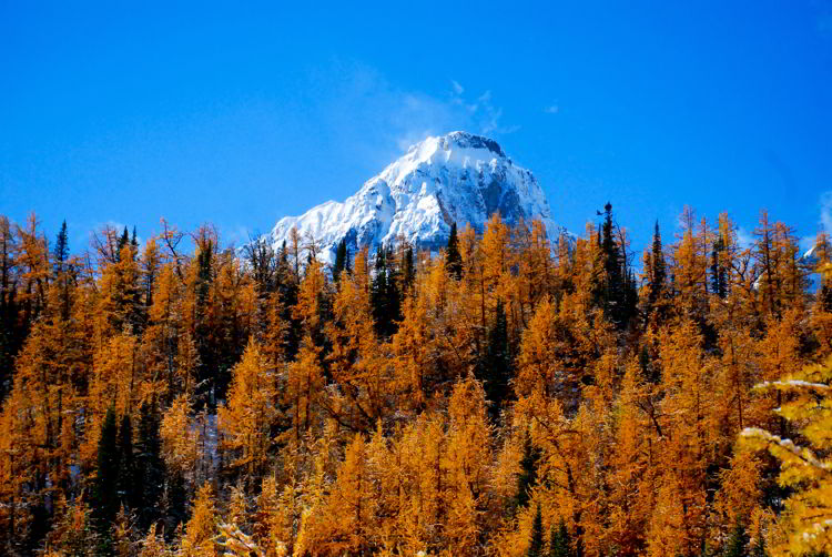 An image of a snow capped mountain peak surrounded by golden larches on the Larch Valley hike in Banff National Park, Alberta, Canada.