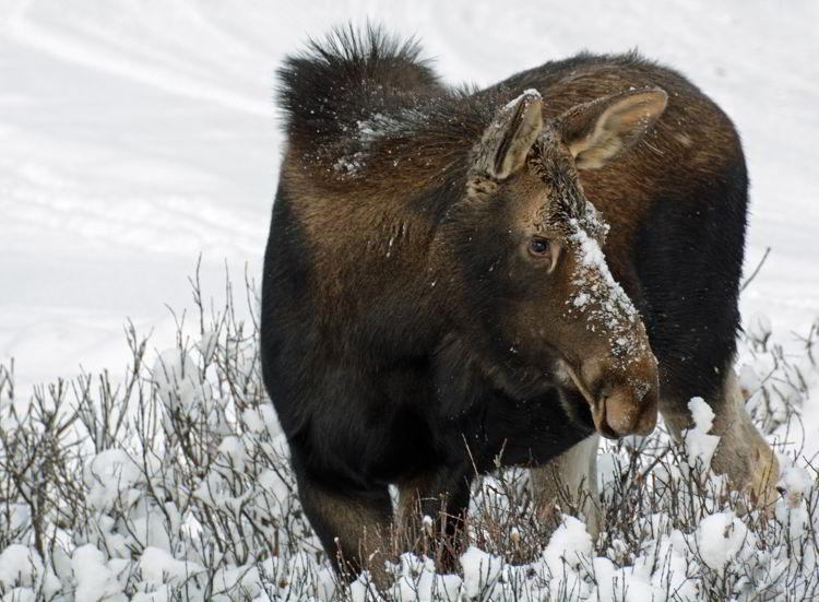 An image of a female moose nibbling on some brush near Maligne Lake in Jasper National Park, Alberta, Canada - Jasper Wildlife Watching.