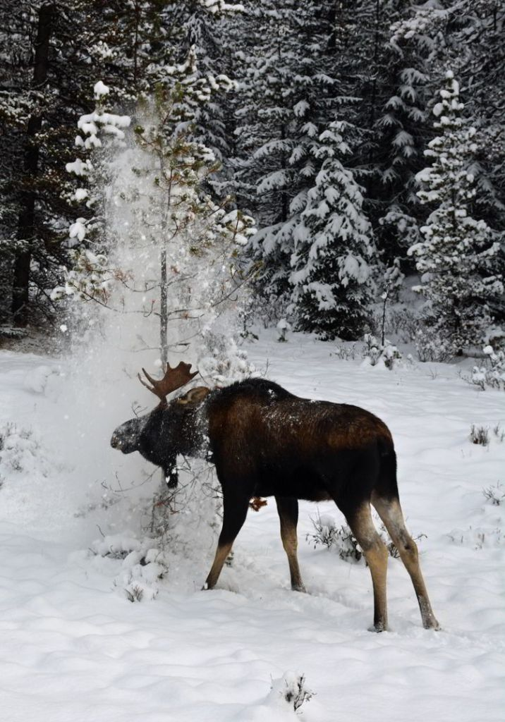 An image of a young moose taking a snow shower in Jasper National Park, Alberta, Canada - Jasper Wildlife Watching.