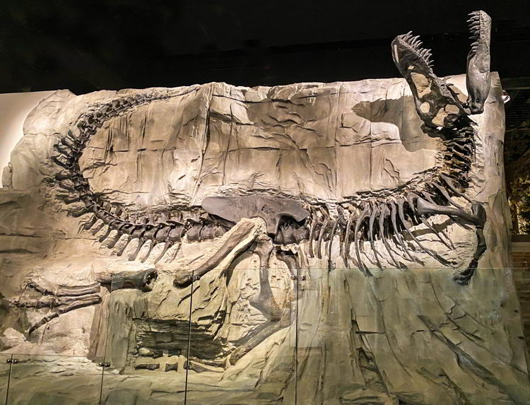 An image of the fossil display known as black beauty at the Royal Tyrrell Museum in Drumheller, Alberta - things to do in Drumheller.