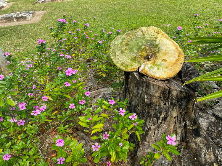 An image of a huge fungi growing at the El Meco archaeological site in Cancun, Mexico.