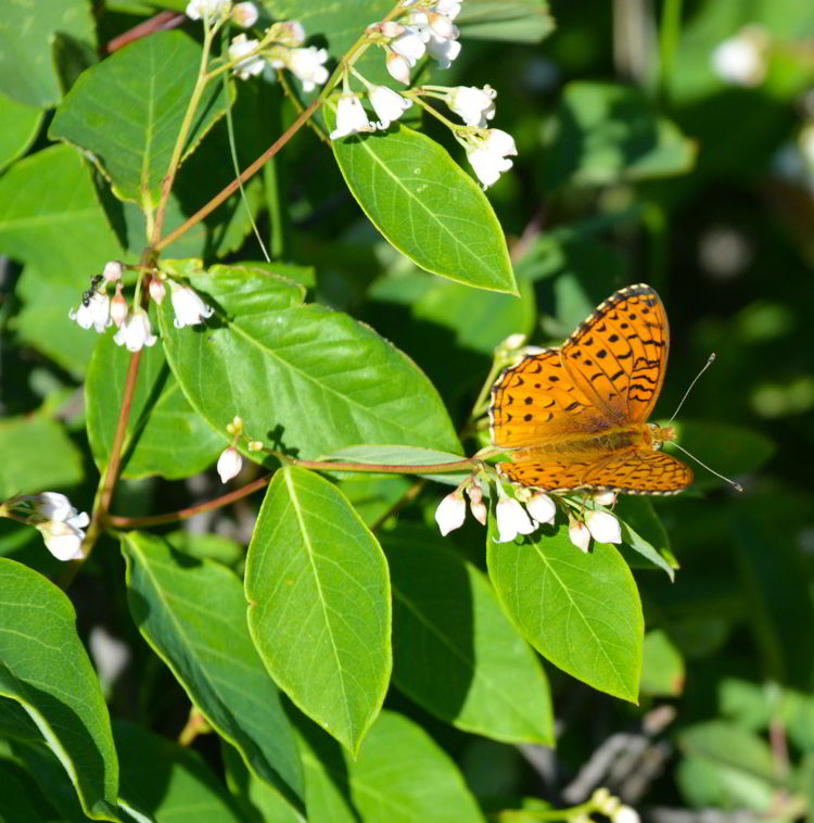 An image of a  northwestern fritallary butterfly .