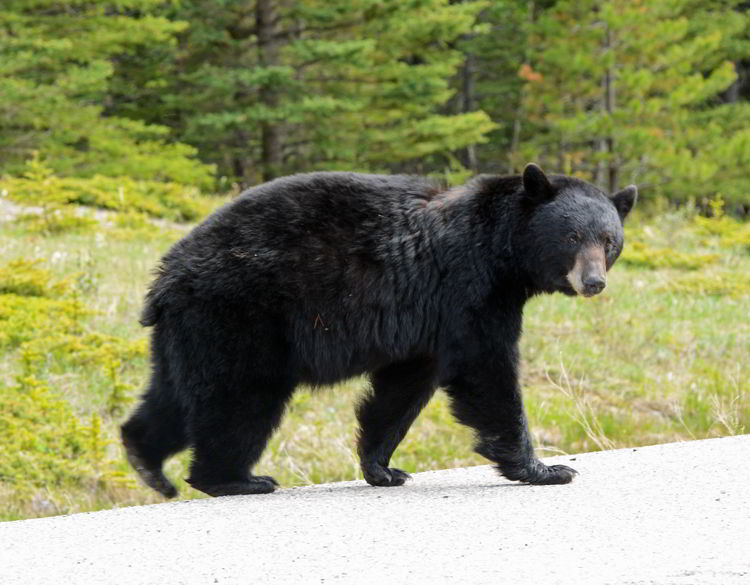 An image of a black bear crossing the highway near Abraham Lake in Alberta, Canada.