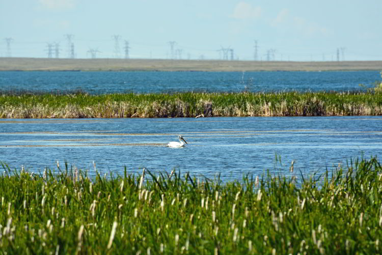 An image of an American white pelican on Lake Newell at Kinbrook Island Provincial Park near Brooks, Alberta, Canada.