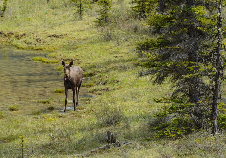 An image of a moose off the Icefields Parkway on the drive from Banff to Jasper in Alberta, Canada.