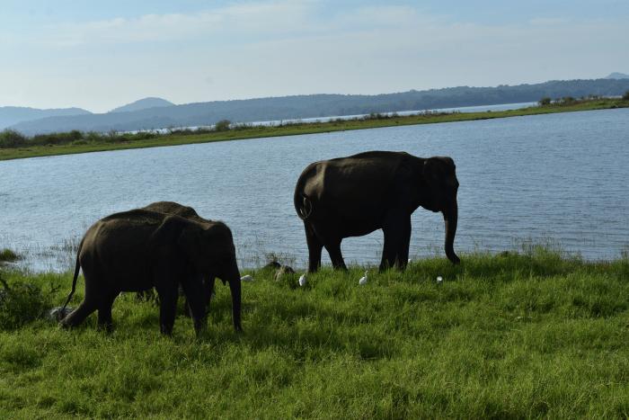 Olifanten Minneriya NP Sri Lanka