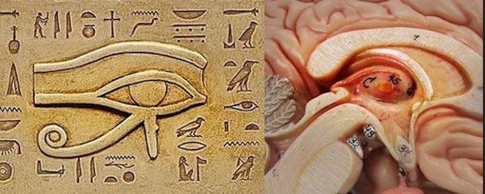 De pijnappelklier is gesitueerd midden in onze hersenen en speelde zelfs voor de Egyptenaren al een essentiële rol in de verbinding van menselijke geest en zijn lichaam en de mens met zijn spirituele wereld.