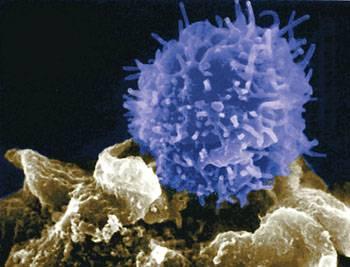 De T-cellen van het immuunsysteem, kunnen worden gezien als de poortwachters die alarm slaan en soldaten activeren, wanneer indringers worden gelocaliseerd.