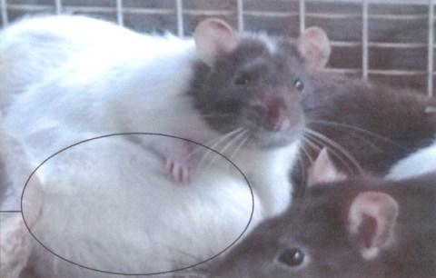 Het resultaat van een prvié uitgevoerde aspartaamproef bij ratten. (Zie ons eerdere artikel, klik op de foto)