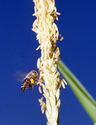 Een honingbij bevrucht een maïsplant. Maar de bij weet niet of het een GMO- of natuurlijke maïsplant is..