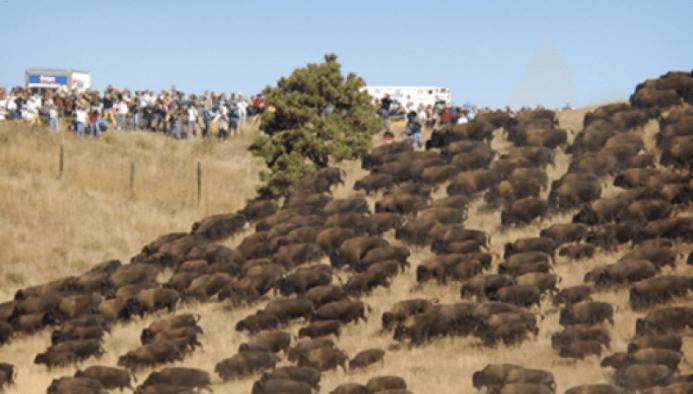 buffalo-standing-rock