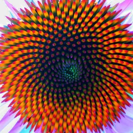 Spiraalstructuur bij een zonnebloem
