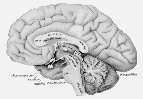 Diep verscholen in de kern van onze hersenen, ligt de pijnappelklier.