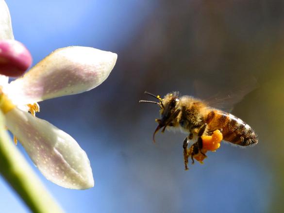 Honingbij met stuifmeel aan zijn poot