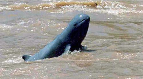 De Irrawaddy-dolfijn is bijna uitgestorven in de Mekongdelta in Vietnam