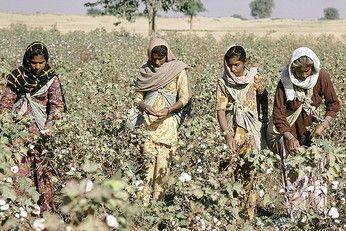 De katoenteelt in India is van oudsher agrarische kennis, die van vader op zoon gaat, door middel van eeuwenoude katoenzaden. Totdat Monsanto haar wig dreef tussen mens en katoenplant.