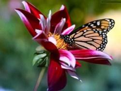 natuur-vlinder-bloem