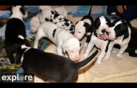 Great Danes Nursery Cam – Service Dog Project powered by EXPLORE.org
