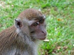 Malaysia, Bako National Park, Macaque