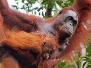 Semenggoh orangutan rehabilitation centre, Malaysia