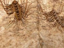 Gomatong centipedes
