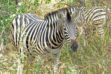 Zebra Kruger Park South Africa