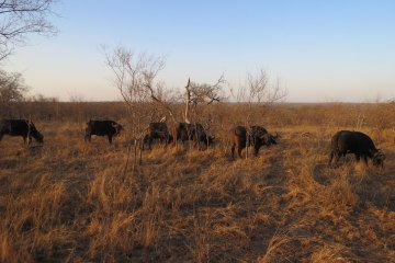 Buffalos Sabie Park South Africa