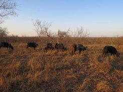 Buffalos Sabie Park South Africa
