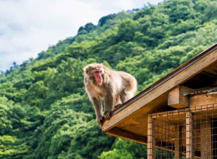 Arashiyama Iwatayama monkey park