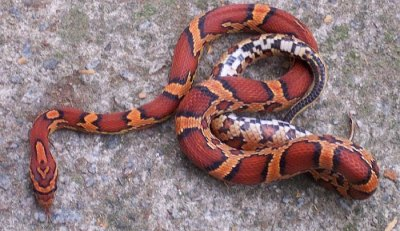 red-corn-snake-edition22