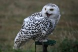 Snowy.Owl