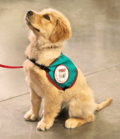 puppy with service dog harness
