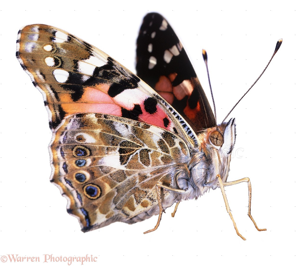 Painted Lady Butterfly Photo Wp