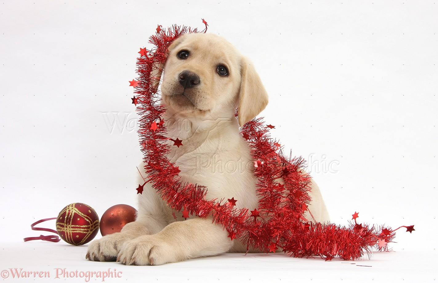Dog Yellow Labrador Retriever Pup With Decorations Photo