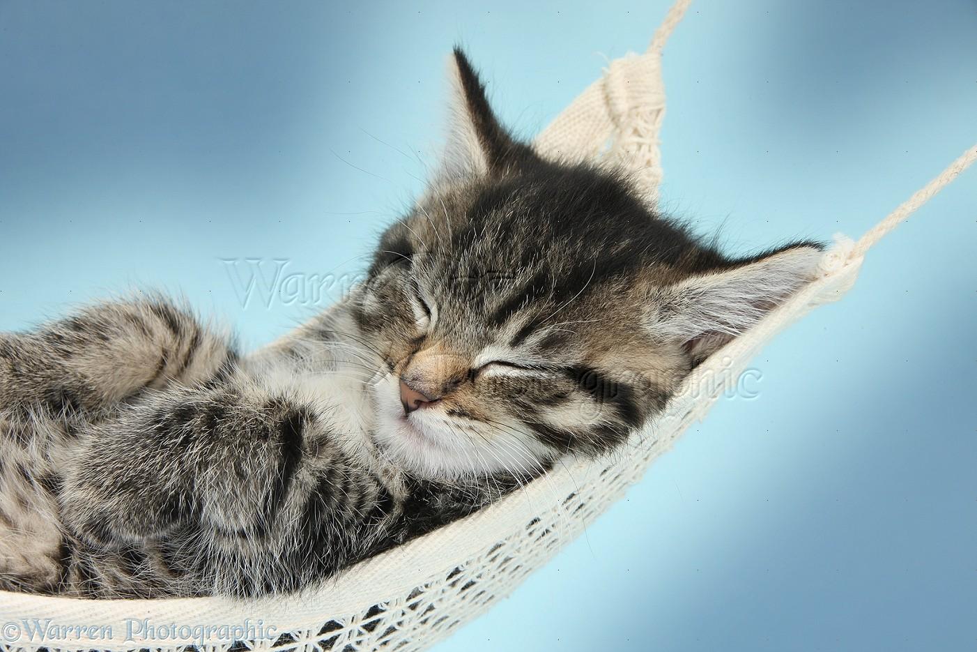 Cute Pets Photographs Tabby Kitten In A Hammock Wp