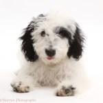 Dog Black And White Cockapoo Puppy Photo Wp43545