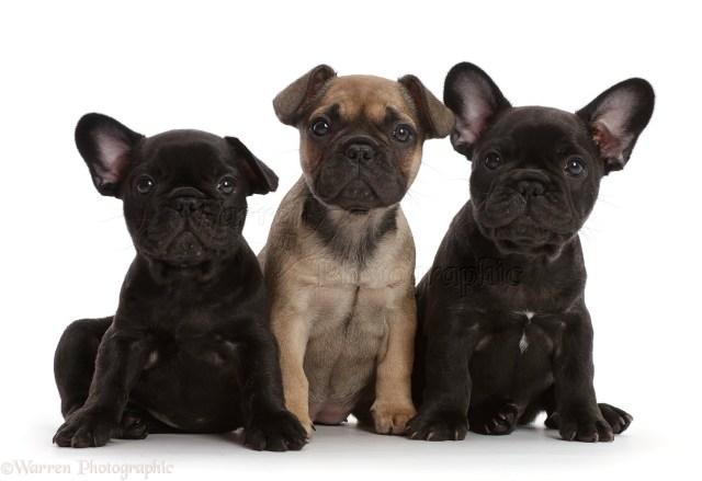 three french bulldog puppies, 6 weeks old photo wp45190