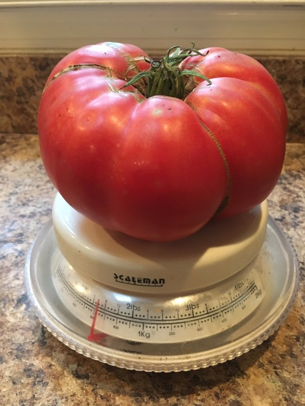 a big tomato on a scale