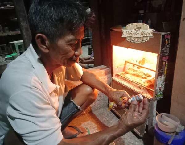 tips ujang mino bf rawat gacoan lovebird baby jawara