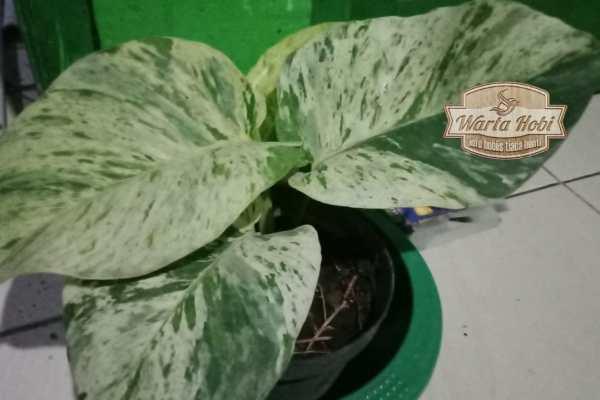 tanaman monstera variegata 2021 mahal