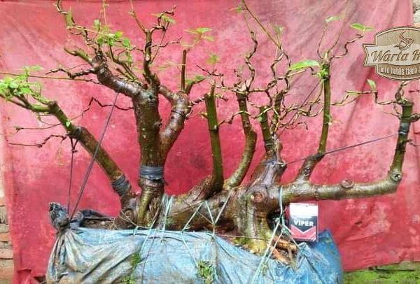 tips pembuatan bentuk bonsai grouping 2021 wartahobi