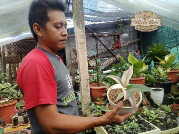 mujari rimba garden mudal suppleir tanaman hias