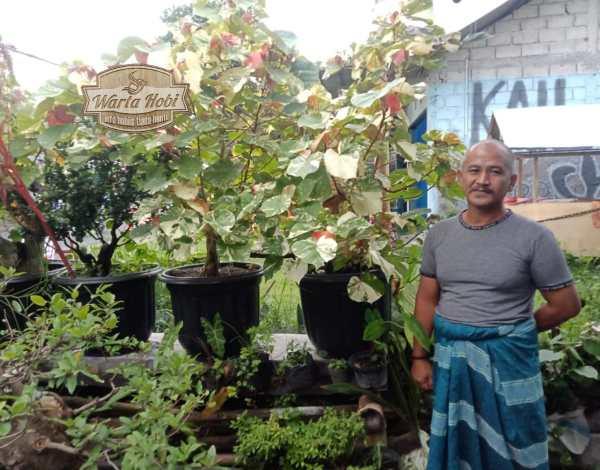 fajar kepitu petani tanaman hias variegata sleman
